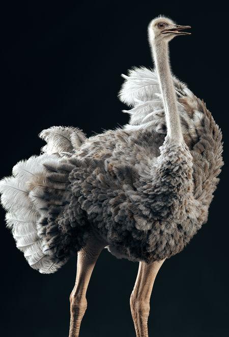 Meneldil somali ostrich 189737cc 89m2