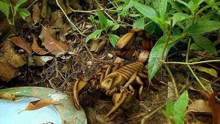 Scorpion :