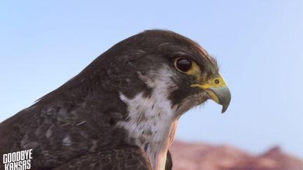 Peregrine Falcon - Naturvårdsverket
