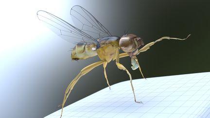 Scavenger Fly
