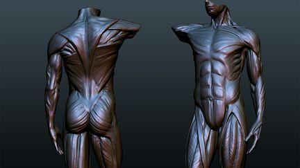 ecorche - anatomy study
