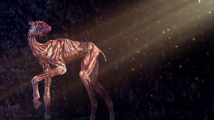 Camelus Negcorium