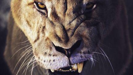Lioness head (snarl)
