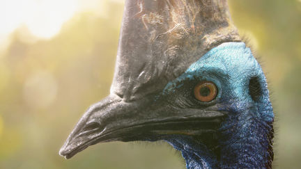 The Southern Cassowary